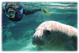 Swimming with the manatees.