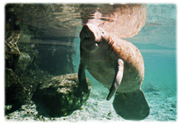 Underwater picture of a manatee.