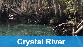 Crystal river cypress trees.